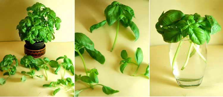 базилик польза и вред для здоровья