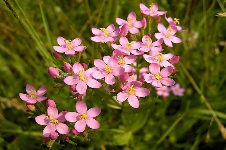 Это растение вполне успешно можно выращивать и на простых участках дома.