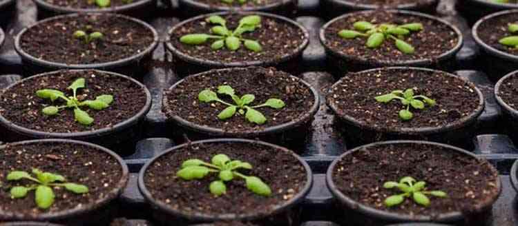 Астра выращивание и польза растения