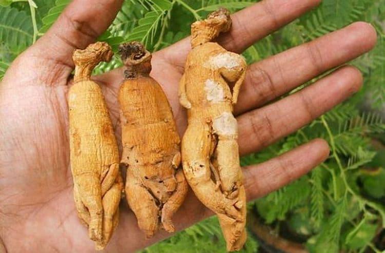 Поскольку корень растение сильно напоминает фигуру человека, ему приписывали магические способности.