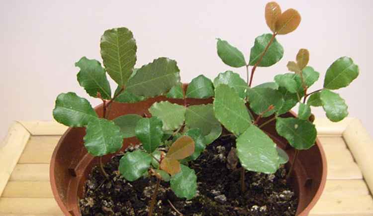 Рожковое дерево выращивание в домашних условиях собственными руками