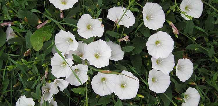 Лечебное растение вьюнок полевой