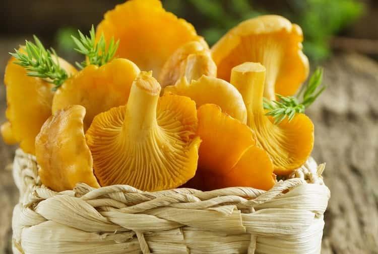 О лечебных свойствах грибов лисичек известно немало, но есть и некоторые противопоказания к употреблению этих грибов.