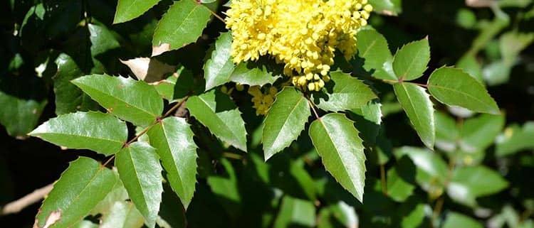 Листья магонии и лечебные свойства