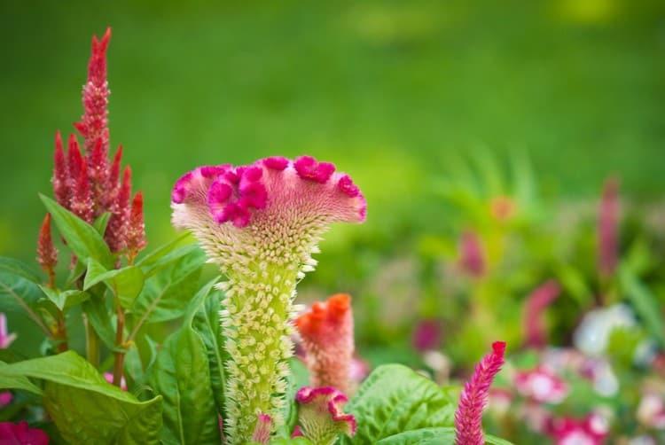 растение обладает многими полезными свойствами.