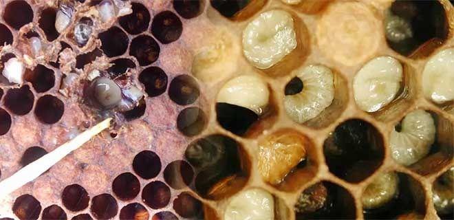 Погибшие от гнильца личинки