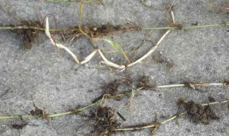 Заготавливать корневища растения лучше осенью.