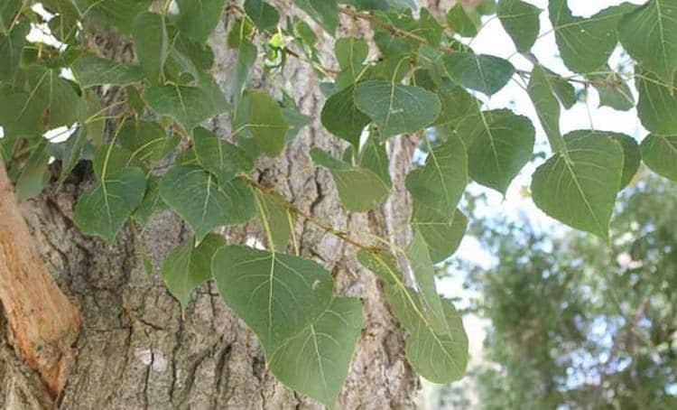Лечебные свойства черного тополя активно использует народная медицина.