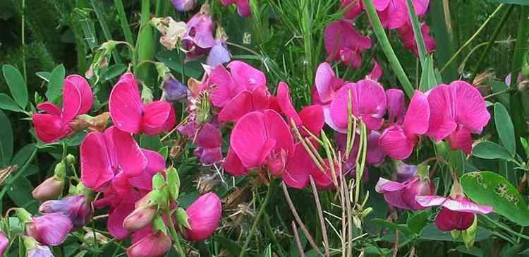 Чина полезные свойства растения