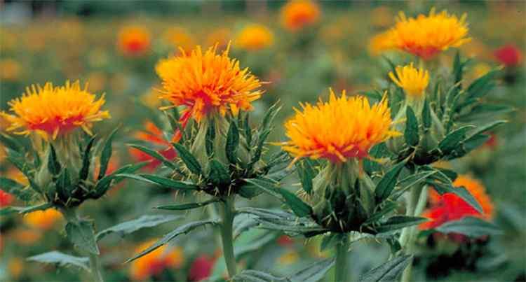 Сафлор свойства и польза растения