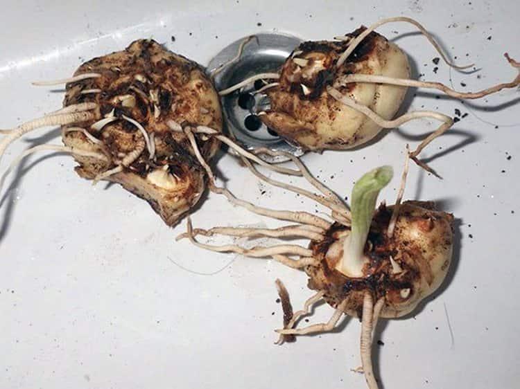 Народная медицина использует обычно корень растения.