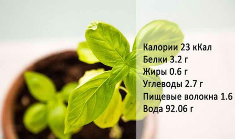 базилик полезные свойства