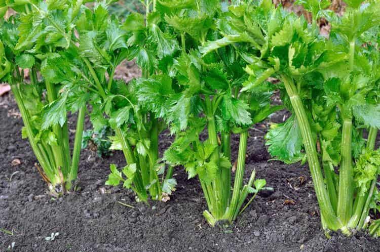 Узнайте также о полезных свойствах корня сельдерея и противопоказаниях к его употреблению.