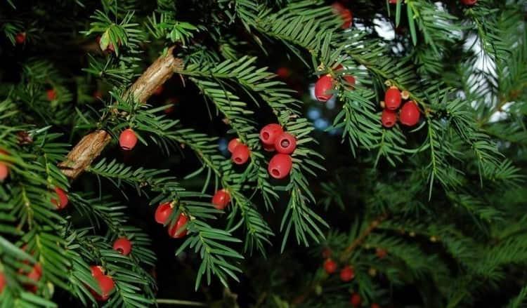 Тис ягодный является очень красивым хвойным деревом, которое в то же время очень ядовито.