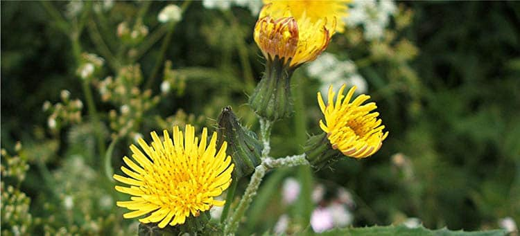 Вид растения желтый осот