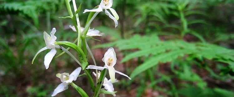 Лечебное растение любка двулистная