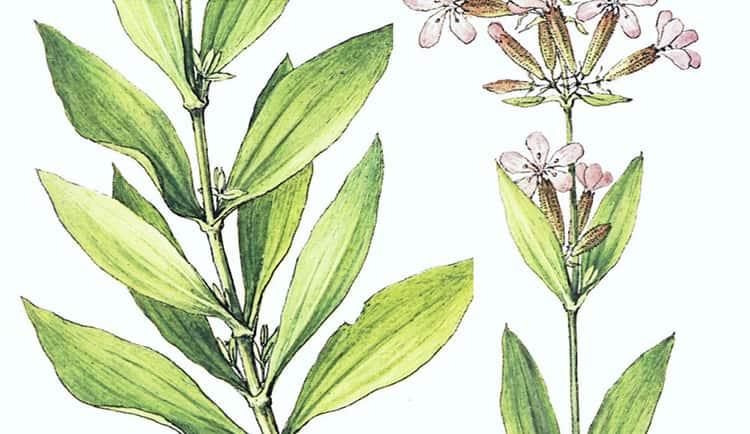 Применение листьев мыльнянки