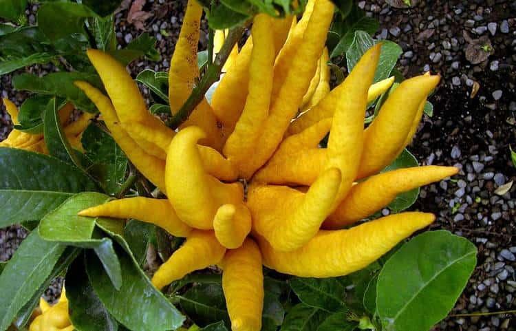 Цитрон это очень оригинальный на вид и полезный экзотический фрукт.