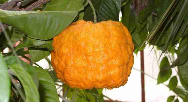 Померанец польза и свойства растения