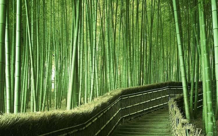 А вот и знаменитый бамбуковый лес в Японии.