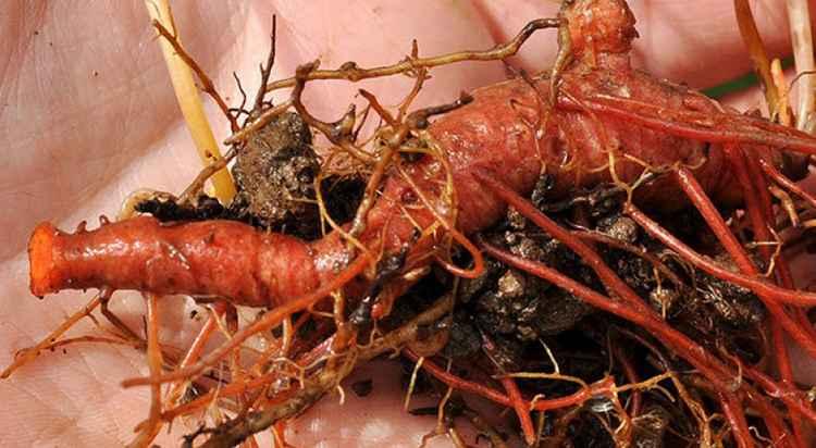 Сангвинария как заготовить и хранить сырье