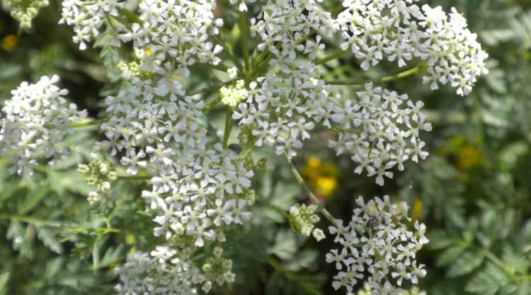 растение относится к семейству Зонтичных.