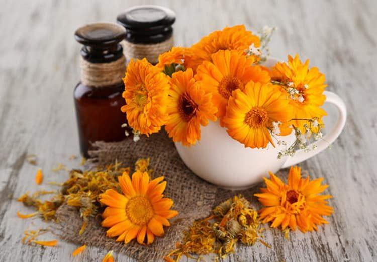 Цветы ноготки: лечебные свойства и противопоказания