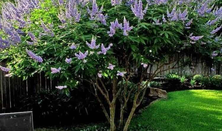 Витекс священный не только полезен, но еще и очень красив, поэтому часто его высаживают и в качестве декоративного растения.