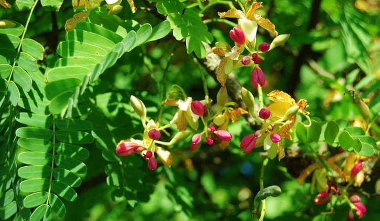 Из цветов дерева можно делать целебный отвар.