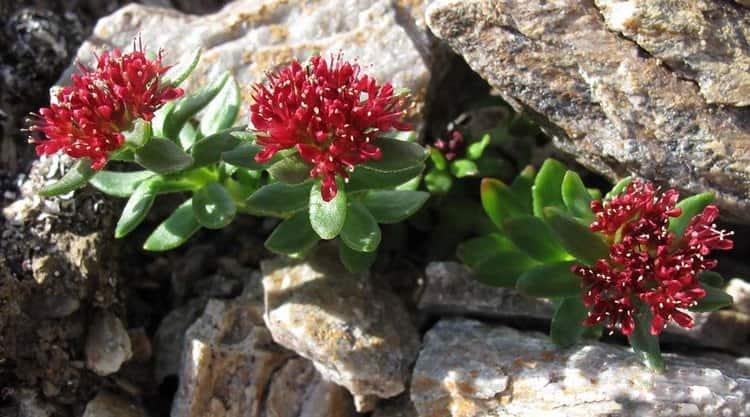 Посмотрите на фото, как выглядит золотой корень (родиола розовая), а также узнайте о ее лечебных свойствах.