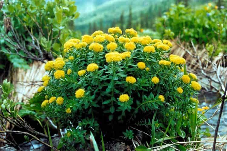 Золотой корень известен своими лечебными свойствами, но есть и противопоказания к его применению.