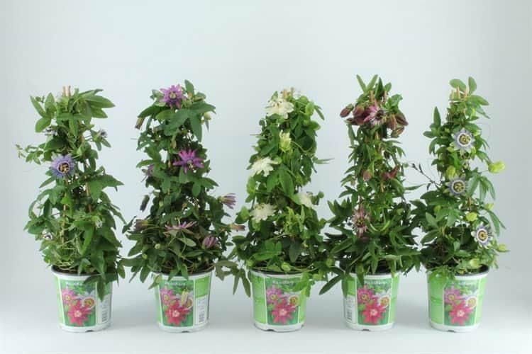Польза, лечебные свойства и противопоказания к употреблению страстоцвета