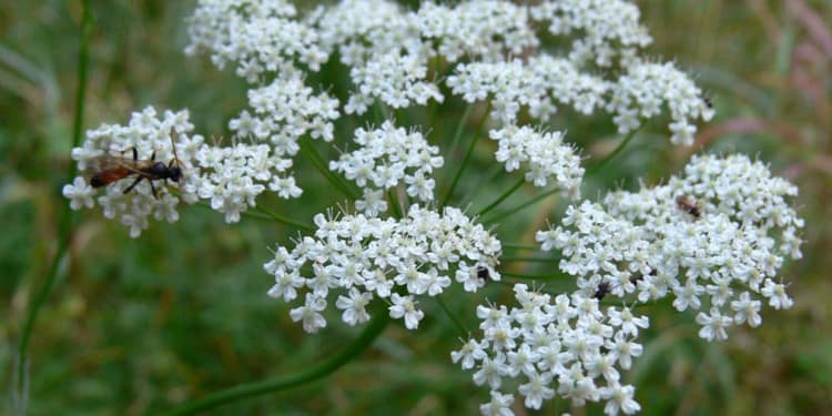Растение нашло очень широкое применение в народной медицине.