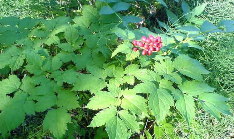 Узнайте все о пользе и вреде растения под названием воронец.