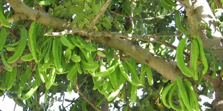 Рожковое дерево полезные свойства растения