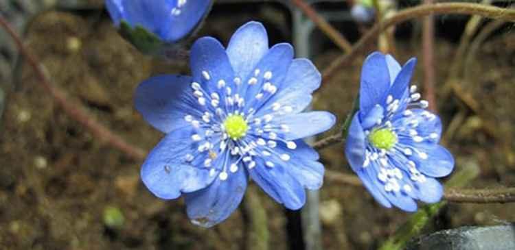 Печеночница синего цвета