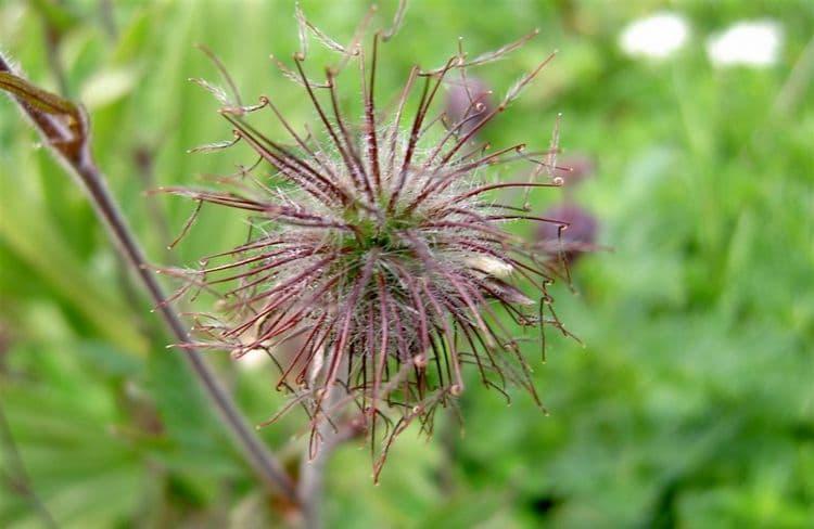 После цветения гравилат образовывает вот такую семенную коробочку.