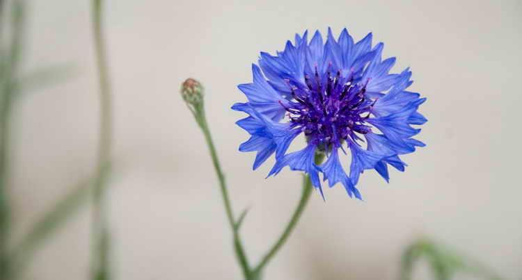 Цветки василька синего от уретрита у мужчин