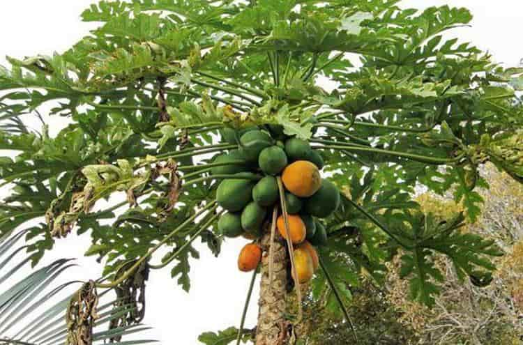 Узнайте все о лечебных свойствах дынного дерева.