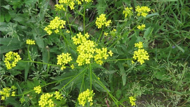 Вот так выглядит лекарственное съедобное растение свербига.