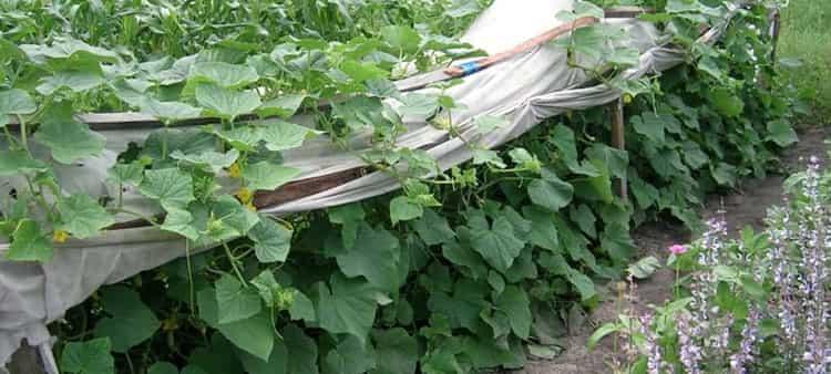 Выращиваем огурцы собственноручно