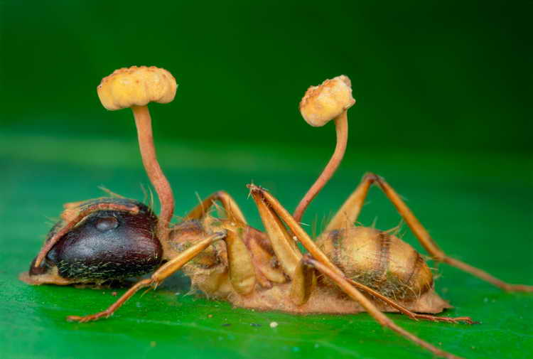 гриб кордицепс лечебные свойства отзывы
