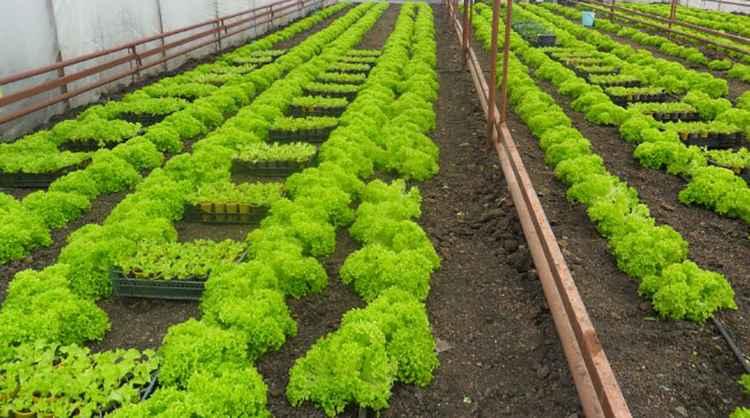Листья салата выращивание в теплице