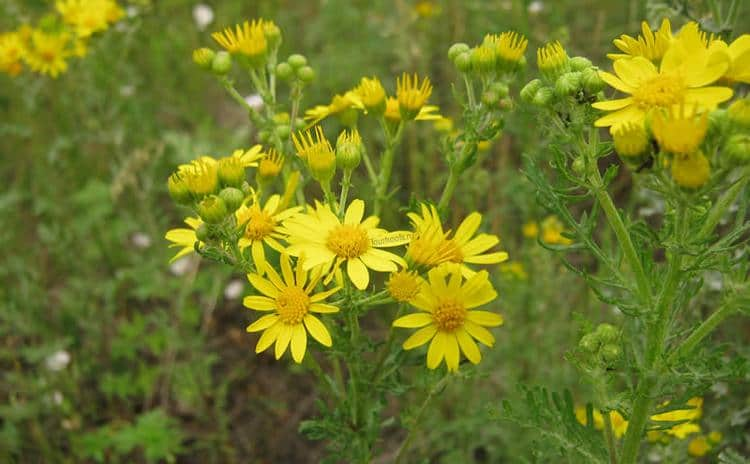 Крестовник приносит пользу при лечении некоторых недугов, но растение ядовито, поэтому применять его следует с крайней осторожностью.