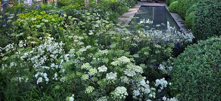 Амми выращивание в собственном саду