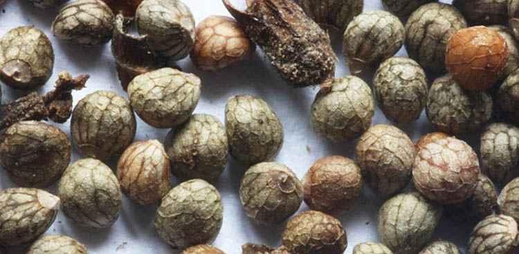 Как применяют семена периллы