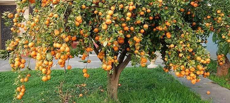Полезный и вкусный мандарин растет на деревьях