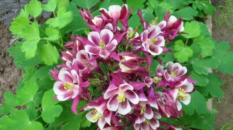 растение достаточно неприхотливо, поэтому его легко можно вырастить на приусадебном участке.