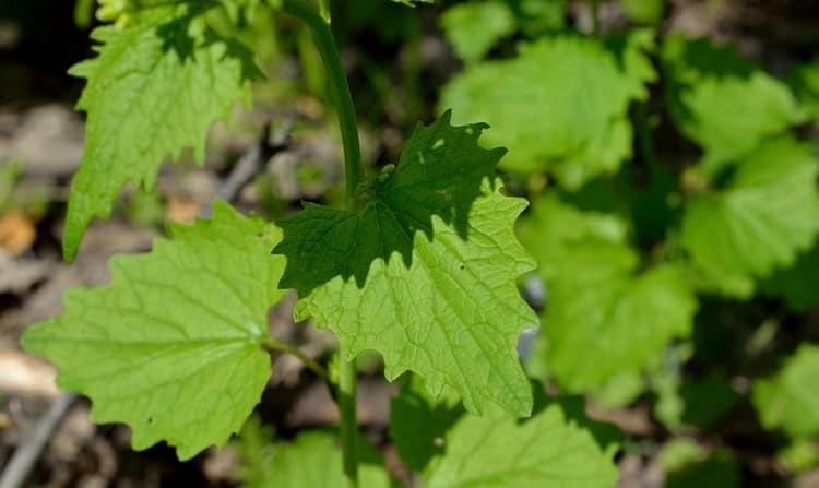 растение чесночница обыкновенная не стоит путать с одноименным земноводным.