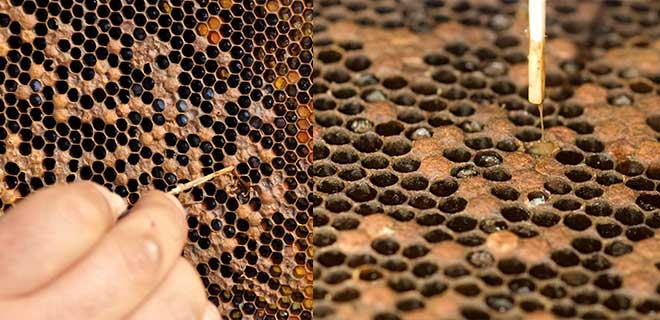 аспергиллез пчел